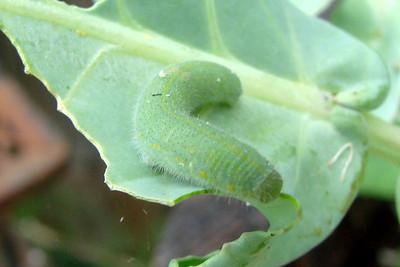 Cabbage White caterpillar on broccoli.  TX: Tarrant Co. (Duhons' Fort Worth yard), 14 June 2007.