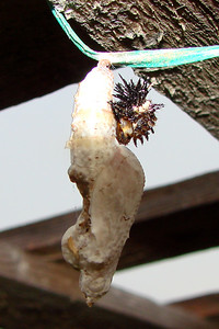Gulf Fritillary chrysalis with caterpillar skin attached. TX: Tarrant Co. (Duhons' Fort Worth yard), 1 August 2007.