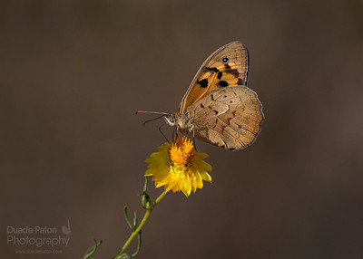 Common Brown