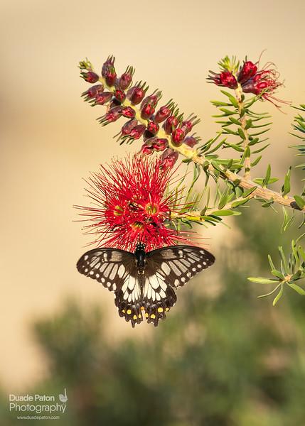 Dainty Swallowtail