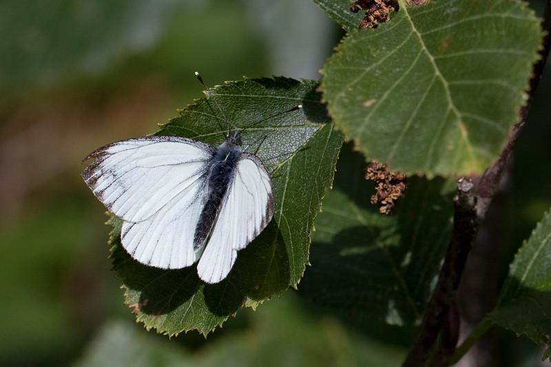 Alpin grønåret kålsommerfugl, Dark-veined White (Pieris bryoniae)