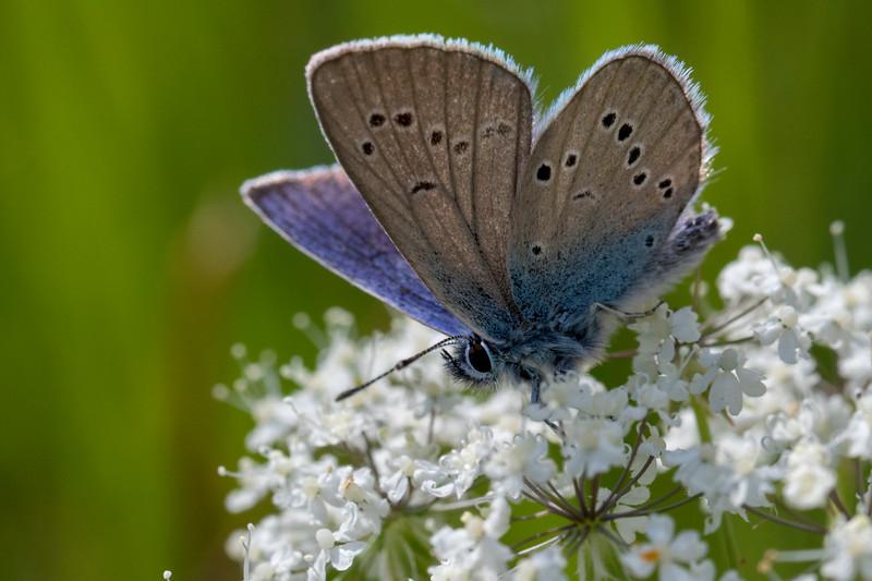 Engblåfugl, Mazarine Blue (cyaniris semiargus)