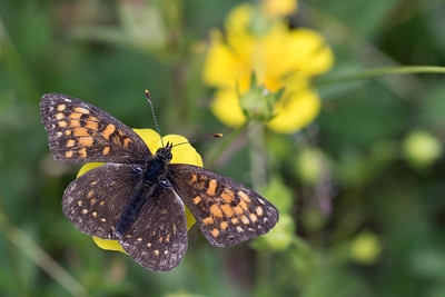 Mørk pletvinge, False-Heath Frtillary (melitaea diamina)
