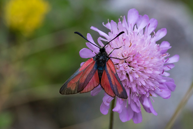 Timiankøllesværmer, Transparent Burnet (zygaena purpuralis)