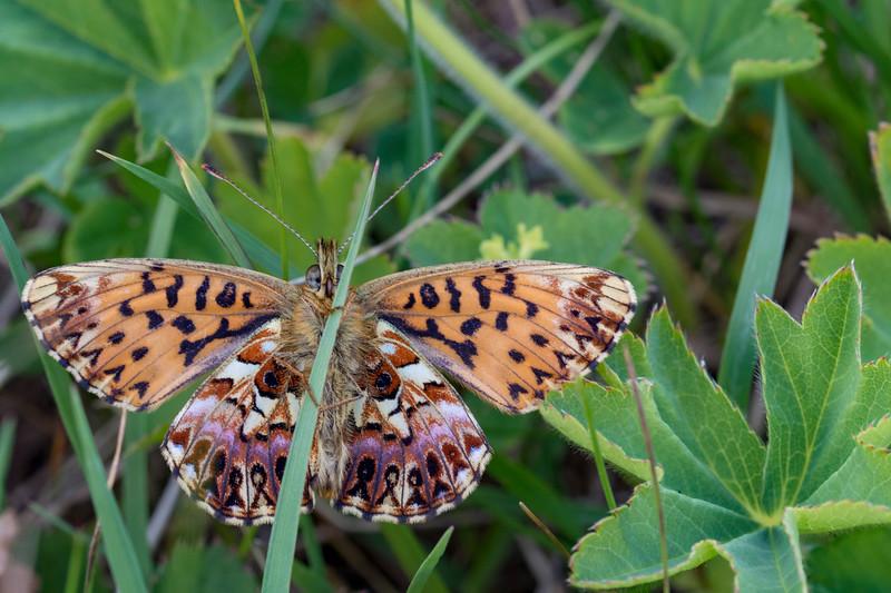 Harlekinperlemorsommerfugl, Titania's Fritillary (Boloria titania cypris)