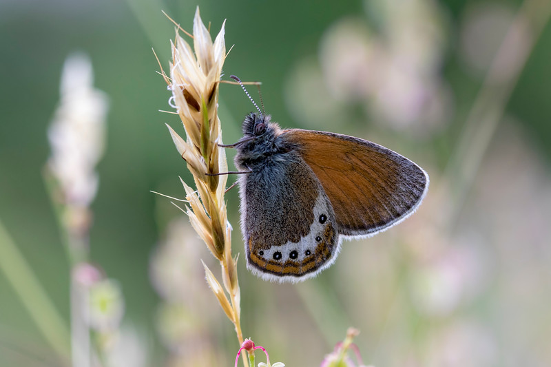 Alpin-Perlemorrandøje, Alpine heath (coenonympha gardetta)