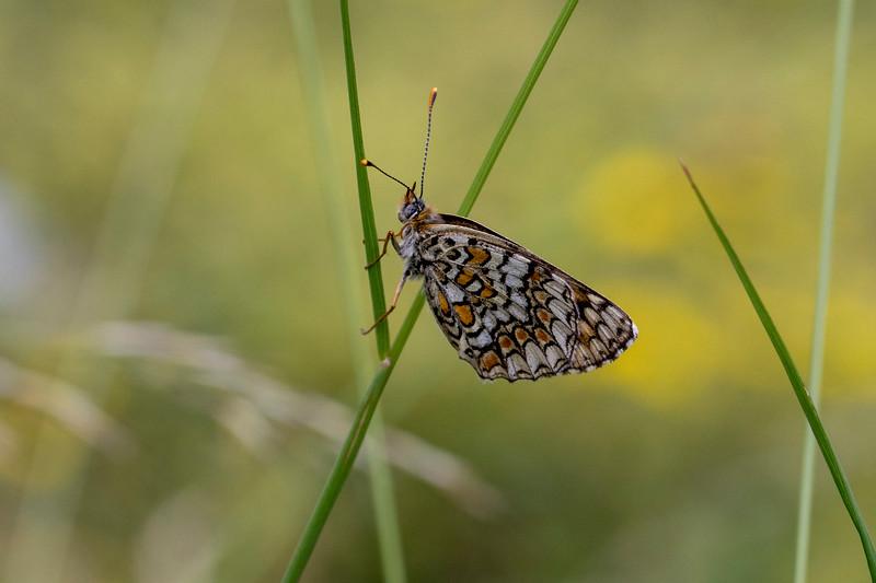 Stor pletvinge, Knapweed Fritillary (melitaea phoebe)