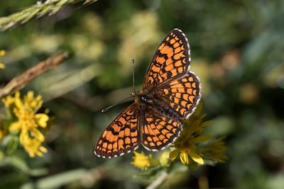 Brun pletvinge, Heath fritillary (melitaea athalia)