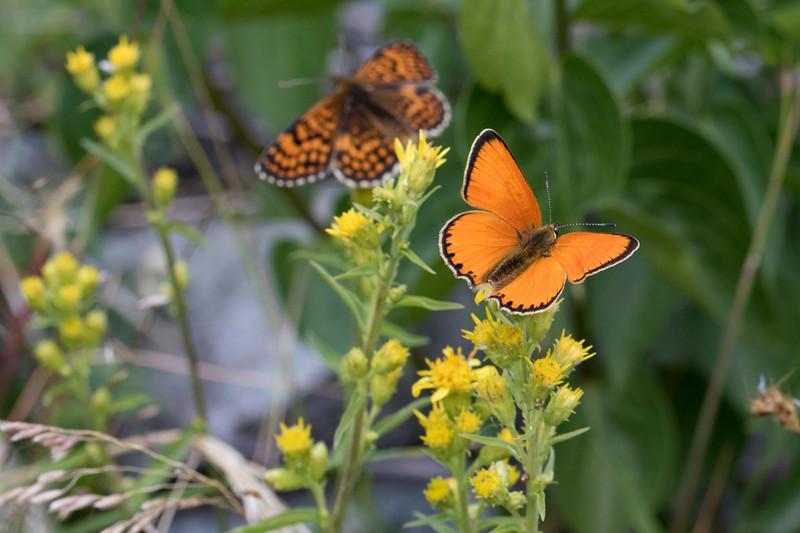 Dukatsommerfugl, Scarce Copper (lycaena vigaureae)