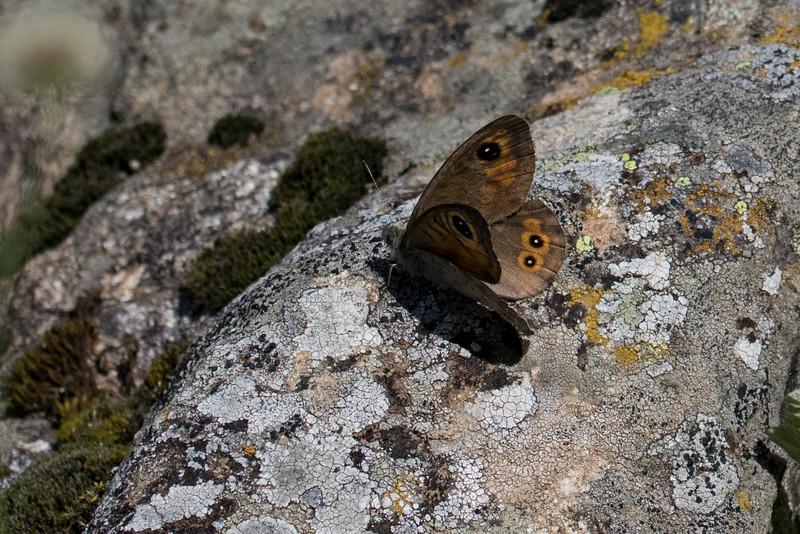 Skov-vejrandøje, Large Wall Brown (lasiommata maera)