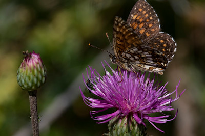 Mørk pletvinge, False Heath Fritillary (melitaea diamina)