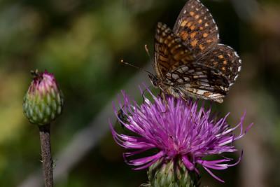 Mørk pletvinge, False Heath Fritillary (melitaea diamina)