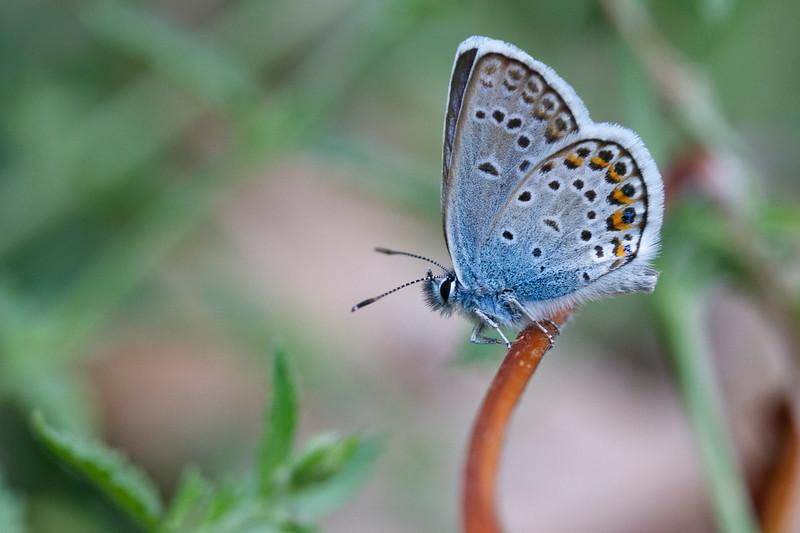 Argus blåfugl, Silver-studded Blue (plebejus argus)
