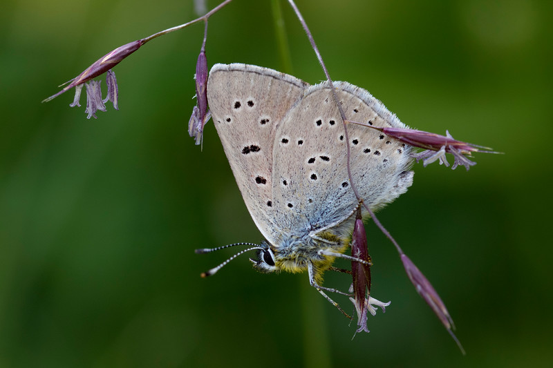 Violetrandet ildfugl, Purple-edged Copper (lycaena hippothoe eurydame)