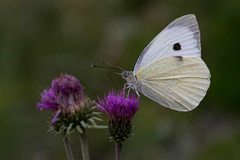 Sydlig Kålsommerfugl, Southern small white (Pieris mannii)