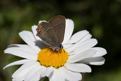 Lille slåensommerfugl, Sloe Hairstreak (satyrium acaciae)