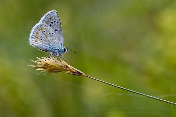 Hvidrandet Blåfugl, Turquoise blue (Polyommatus dorylas)