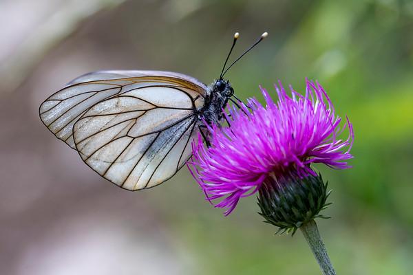 Sortåret pletvinge, Black Veined White (aporia crataegi)