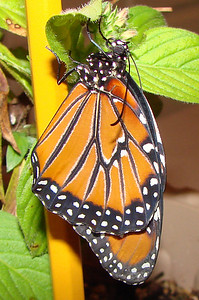 8:24 a.m. (about half an hour after the chrysalis split open).
