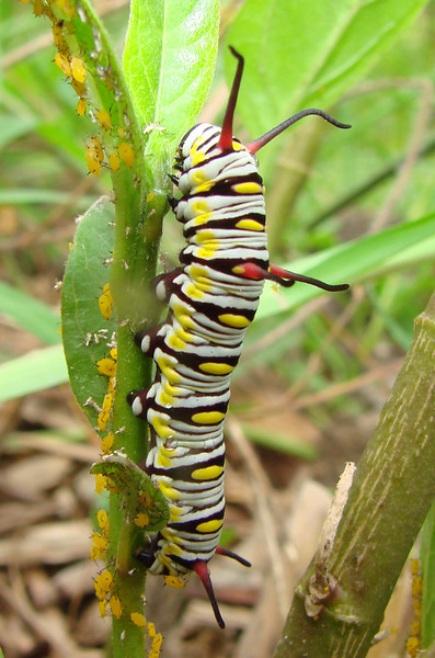 This Queen (Danaus gilippus) caterpillar was found on a Tropical Milkweed plant in the Duhons' Fort Worth, TX yard on July 31, 2007.