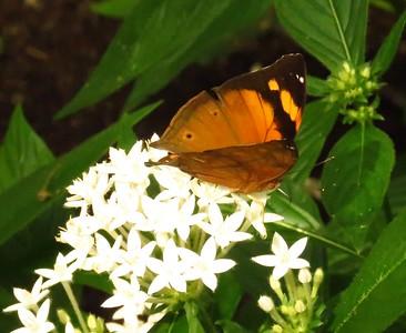 Autumn Leaf, Doleschallia bisaltide, butterfly house, Scottsdale, AZ, march 6, 2019 Img_5673