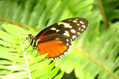Tiger Longwing, Heliconius hecale - Scottsdale Bfly House, march 6, 2019 IMG_5349