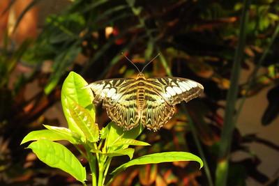 Subfamily Limenitidinae - - Scottsdale Bfly House, march 6, 2019 IMG_5326