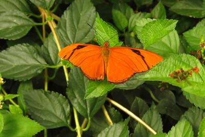 Julia Butterfly, Dryas iulia  Bfly House, Scottsdale, AZ, march 6, 2019 IMG_5360