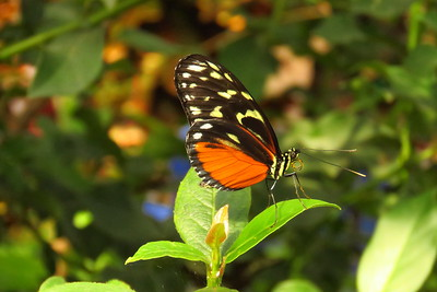 Tiger Longwing, Heliconius hecale -  Scottsdale Bfly House, march 6, 2019 IMG_5329