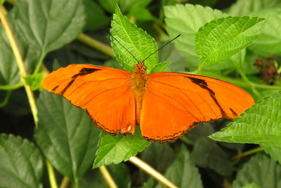 Julia Butterfly, Dryas iulia  Bfly House, Scottsdale, AZ, march 6, 2019 IMG_5362