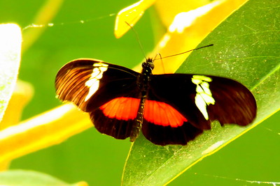 Red Postman, Heliconius erato - Scottsdale Bfly House, march 6, 2019 IMG_5314
