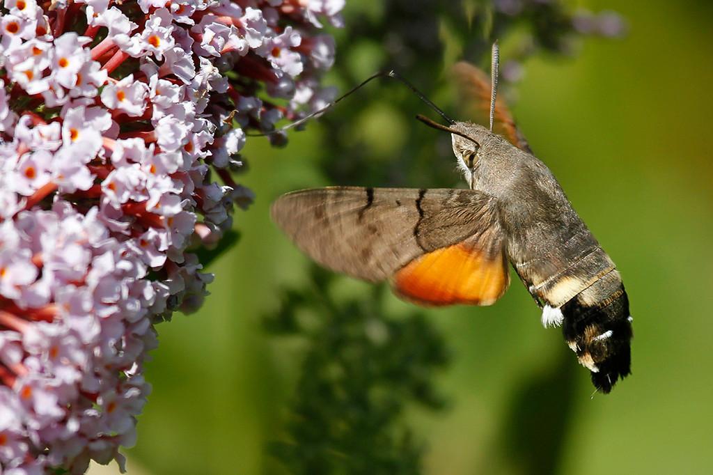 Duehale, Hummingbird Hawk Moth (Macroglossum stellatarum), Pyrenees, France