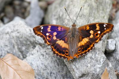 Iris Ilia, Lesser Purple Emperor (Apatura ilia), Pyrenees, France
