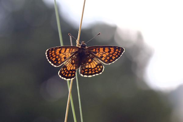 Brun Pletvinge, Heath fritillary (Melitaea athalia), Alpes-de-Haute-Provence, France