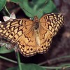 Fritillaries : 6 galleries with 46 photos