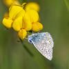 Common Blue - Almindelig Blåfugl