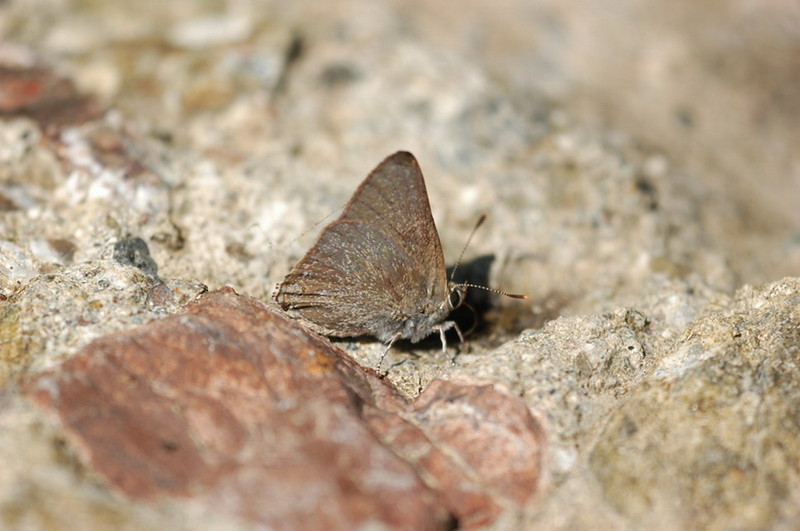 found with California Hairstreaks in Del Puerto Canyon, Stanislaus County, 06/05