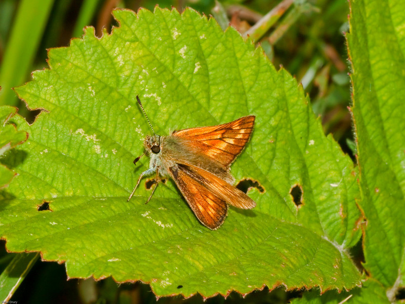 Large Skipper (Ochlodes venatus). Copyright 2009 Peter Drury