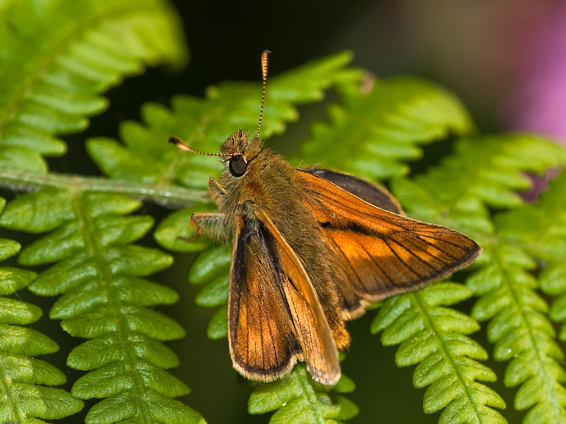 Large Skipper (Ochlodes venatus). Copyright Peter Drury