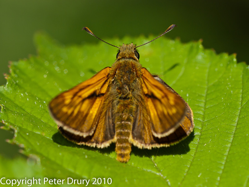 Large Skipper (Ochlodes venatus). Copyright Peter Drury 2010