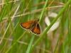 Small Skipper (Thymelicus sylvestris). Copyright 2009 Peter Drury