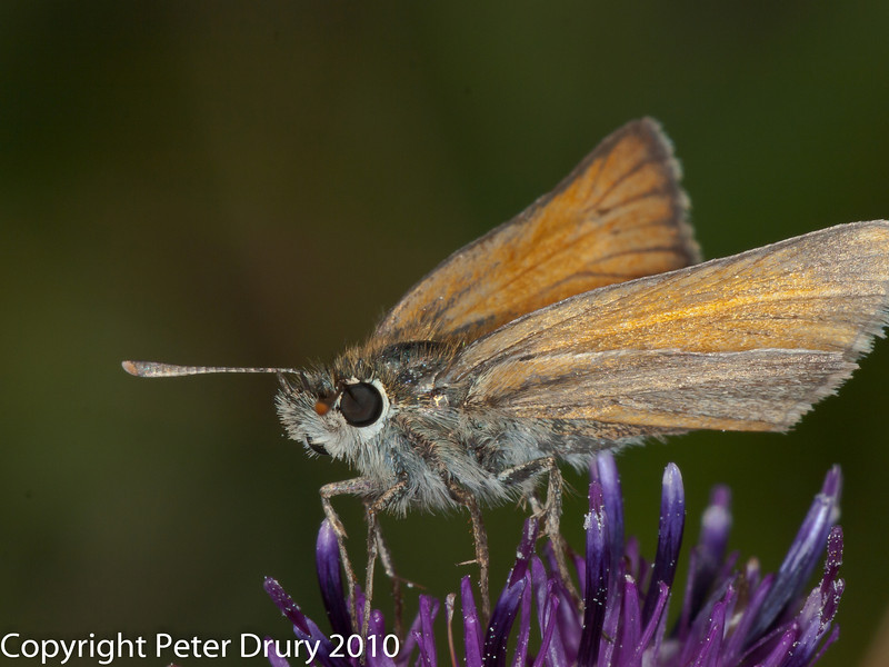 Small skipper. Copyright Peter Drury 2010