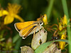 22 Jul 2011 Small skipper at Portchester Common.