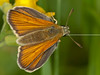 Small Skipper (Thymelicus sylvestris). Copyright Peter Drury 2010