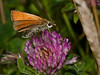 Small Skipper (Thymelicus sylvestris). Copyright 2009 Peter Drury