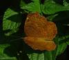 Ariadne merione (Common Castor).