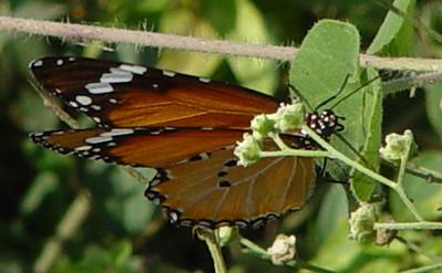 Danaus chrysippus (Plain Tiger) female.