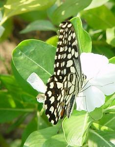 Papilio demoleus (Lime Butterfly).