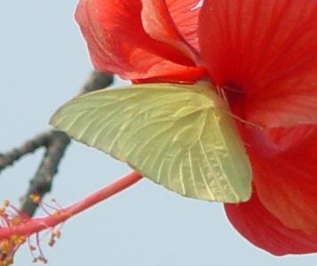 Catopsilia pomona (Lemon [Common] Emigrant) male.