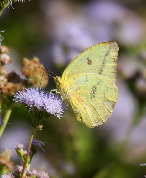 Large Orange Sulphur Butterfly